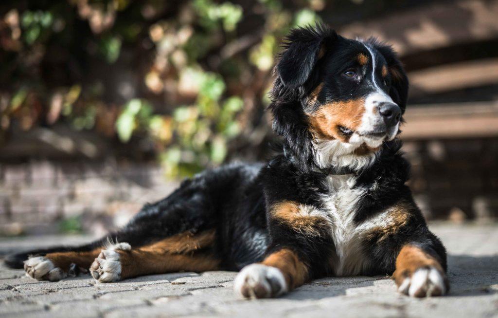 Dog laying in the sun